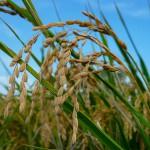 収穫の秋 我が家の稲刈り